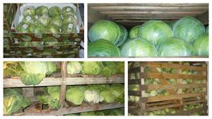 Преимущества хранения капусты в земле
