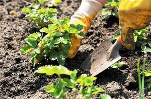 Оптимальное время для посадки садовой земляники