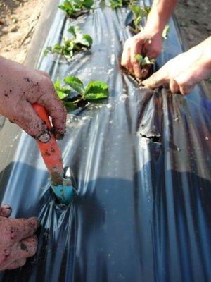 Как получить огромный урожай при выращивании клубники