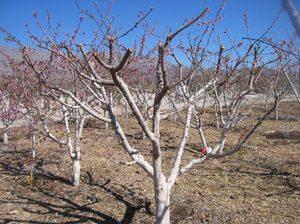 Уход за абрикосом осенью: обрезка