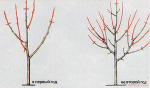 Что нужно знать об обрезке абрикоса