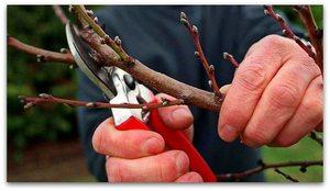 Лучшей формой кроны при обрезки деревьев абрикоса считается разреженная ярусами