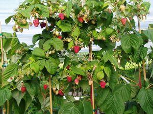 Ремонтантные сорта ароматной ягоды