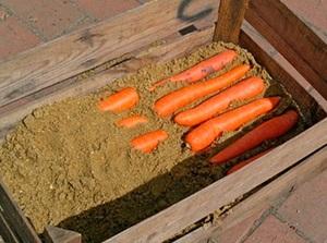 Хранение моркови в песке на зиму