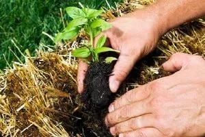 Посадка картофеля под солому огород без хлопот: технология выращивания под сеном, видео, описание метода, отзывы огородников