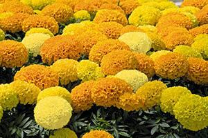 Бархатцы низкорослые крупноцветковые сорта