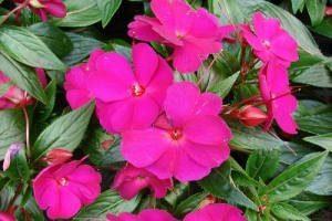 Ванька Мокрый цветок — фото, уход, домашний комнатный, приметы