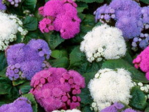 Агератум фото цветов рассада когда сажать