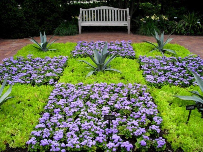 Агератум фото квітів розсада коли садити