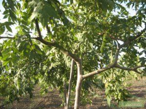 Ясень фото дерева и листьев