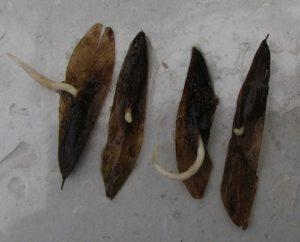 Ясень листья фото