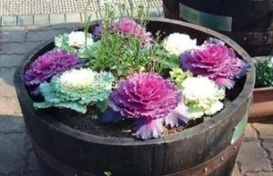 Цветок капуста декоративная посадка и уход