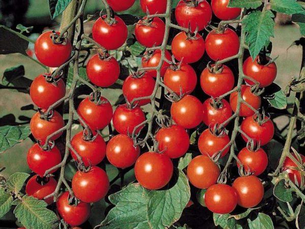 Выращивание томатов на балконе