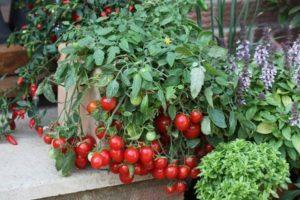 Томат горшечный красный как его правильно выращивать
