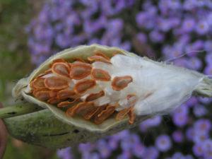 Ваточник (асклепиас)- виды, посадка, уход, фото