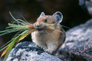 Чем питаются полевки в лесу