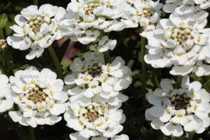 Цветущий сад в объятиях ибериса вечнозелного