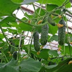 Огурец «Гуннар f1»: главные особенности высокоурожайного гибрида, правила выращивания, ухода и размножения, рекомендации и отзывы опытных огородников