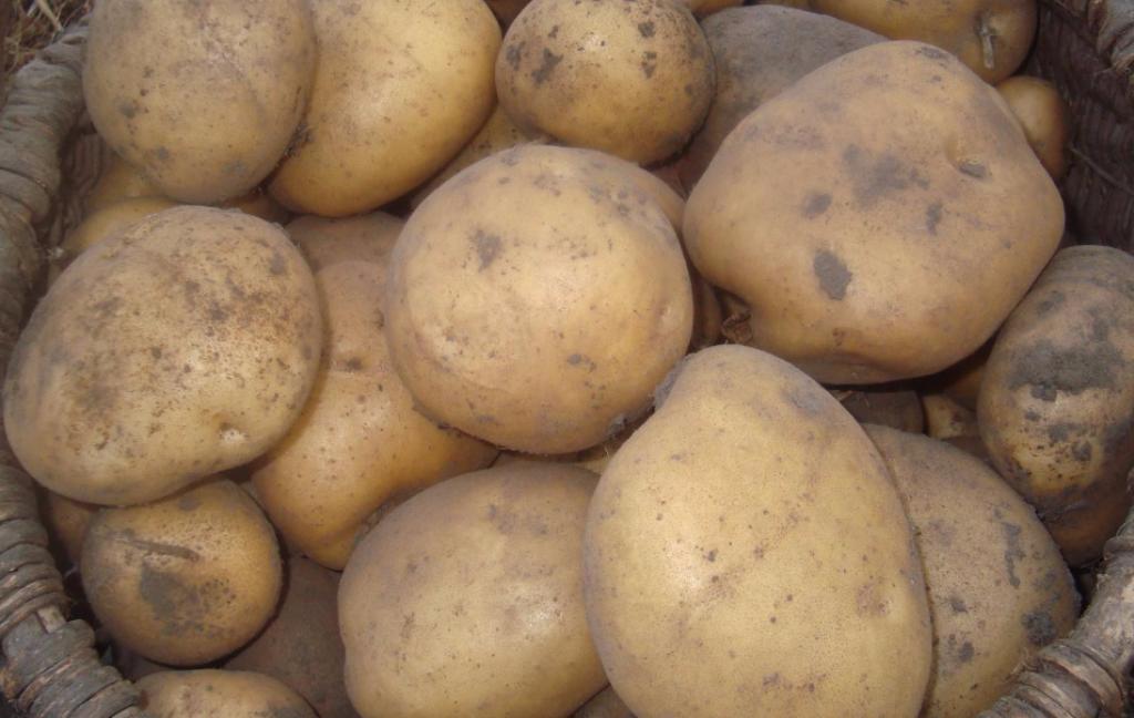 Главные достоинства картофеля «Ривьера»