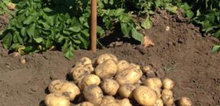 Картофель «Ривьера»: основные преимущества и особенности сорта, правила посадки, выращивания, ухода и размножения культуры