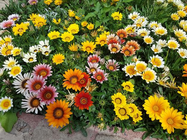 Выращивание Гацании и правила ухода за цветами, особенности размножения, защиты от болезней и вредителей